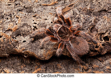 Tarantula - Huge Hairy Red Spider on bark