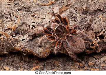 Tarantula - Huge Hairy Red Spider on bark