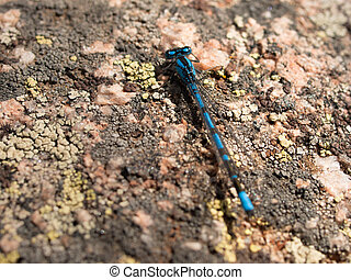 Blue Dragonfly - Blue dragonfly on the rock.