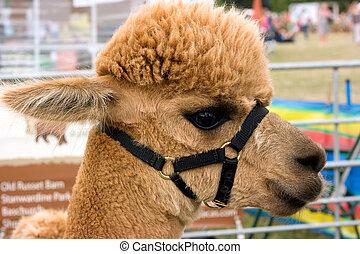 Alpaca - Close up portrait  of an alpaca face