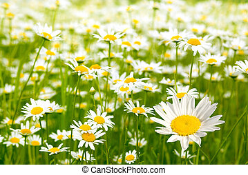 Charming camomile - Very beautiful camomile on a green...