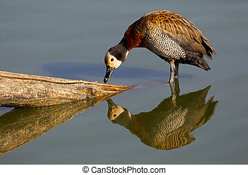 White-faced duck - African white-faced duck (Dendrocygna...