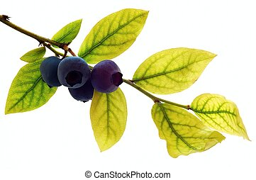 Blueberry - Browse with blueberries on white ground.