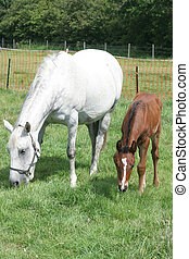Mare and Foal - A mare and her foal grazing in a paddock