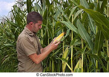 granjero, Inspeccionar, maíz, cosecha