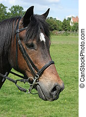 Welsh Cob Portrait - Portrait of a Welsh pony