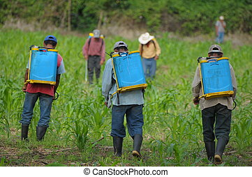 Guatemalas corn field - Workers spraying corn plants againts...