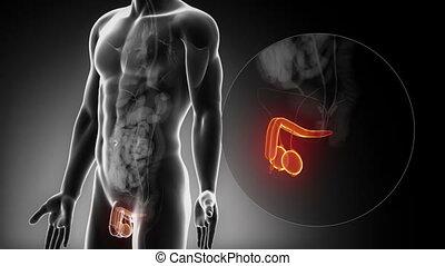 macho, reproductor, Órganos, anatomía