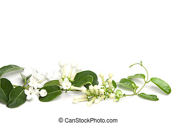 white flowers of Stephanotis