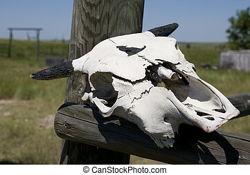 Cow Skull in Wyoming