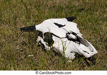 Cow Skull in Grass
