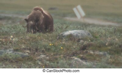 musk ox (wildlife)
