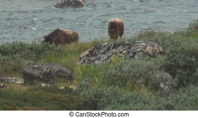 musk ox wildlife