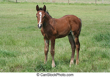 Thoroughbred Foal - A Thoroughbred foal standing in grass