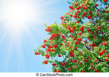 A tree with rowan berries with sunlight
