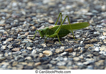 arthropoda grasshopper in the wild in Holland europe