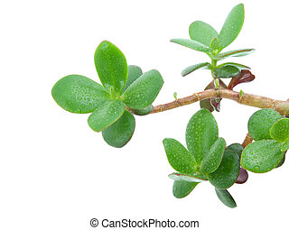House plant - Crassula Ovata or Money tree Isolated over...