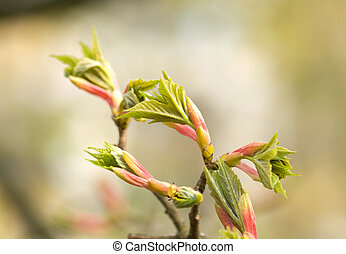 maple tree branch with spring buds and young leaves, macro