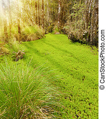Forest Clearing - Grass and moss in a forest clearing in New...