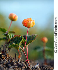 cloudberry - A close-up of a cloudberry, shallow depth of...