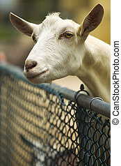 Goat looking over fence at cape may zoo