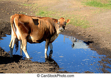 Jersey Milk Cow - A Jersey Milk Cow at Watering Hole