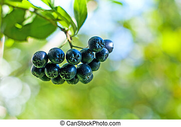 Aronia berry,Aronia melanocarpa - aronia berries at its bush