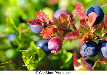 Unripe bilberry - close-up of a blueberry, shallow depth of...