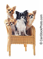 four chihuahuas on a chair in front of white background
