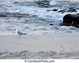 Seagull in front of the Ocean