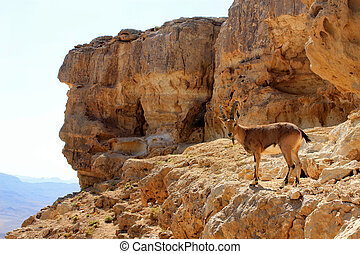 Ibex on the cliff at Ramon Crater in Negev Desert in Israel....