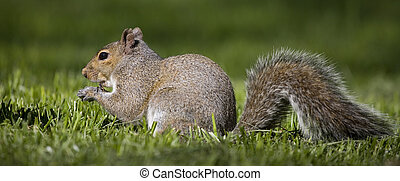 eating squirrel - tree squirrel that has found some food on...