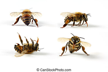 Honey Bees - Four honey bees (Apis mellifera) on a white...
