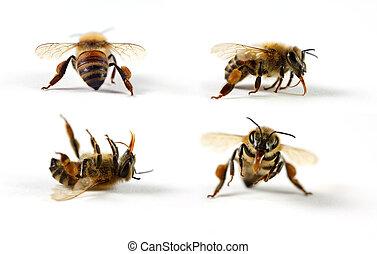 Honey Bees - Four honey bees (Apis mellifera) on a white...
