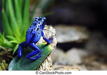 azul, Veneno, rana, dardo