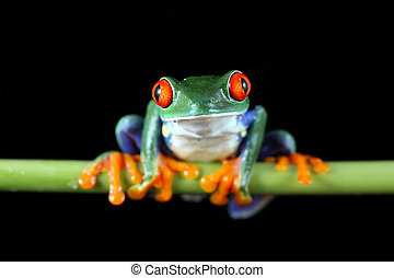 Red-Eyed Tree Frog - A macro shot of a Red-Eyed Tree Frog...