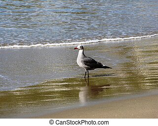 Shorebird - Seagull on the shore, Laguna Beach, CA