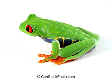 Red-eyed tree frog - A Red-eyed tree frog (Agalychnis...