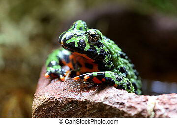 Fire-Bellied Toad - A macro shot of a Fire-Bellied Toad...