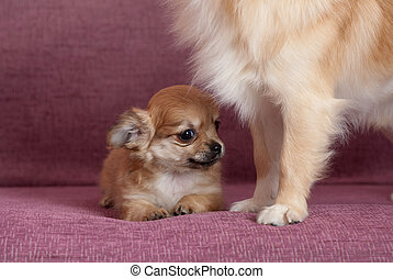 Reliable protection - Puppy of the Chihuahua on a sofa with...