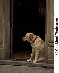 Dog Waits - Golden dog waiting for his master