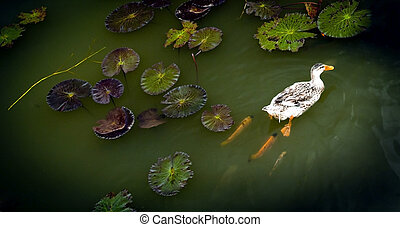 Ducks on Pond - Ducks on a lilly pond followed by fish