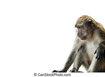 Long-Tailed Macaque - Monkey (Long-Tailed Macaque) isolated...