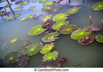 Lily Pads - Colourful lily pads on a pond