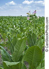 Tobacco plantation Blossomed tobacco on blue sky background