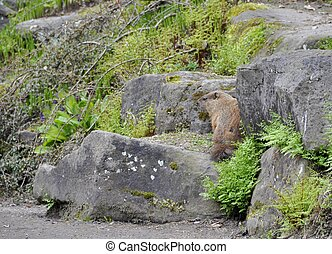Woodchuck - groundhog in a rocky terrain