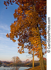 Fall Hickory - Hickory with colorful autumn leaves and blue...
