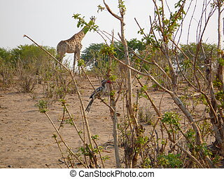 Giraffe and bird in savanna