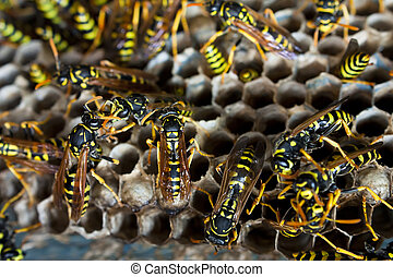 Paper wasps tending nest - Nest of paper wasps in close up...
