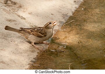Passer domesticus drinking water in a river